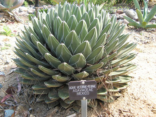 Is Agave better than sugar?