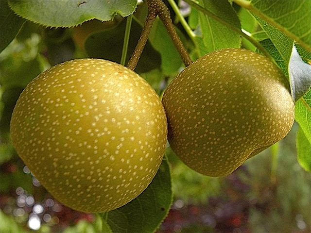 Asian Pears growing on tree