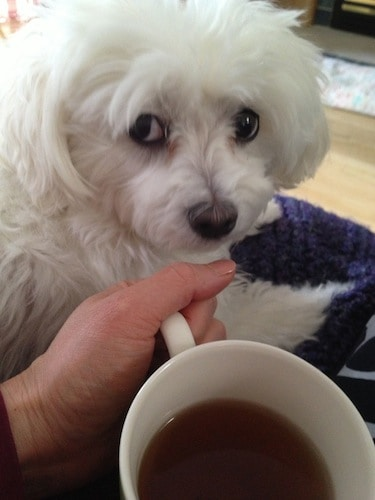 holding coffee cup and maltese dog looking at camera