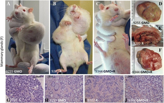 GMO rats