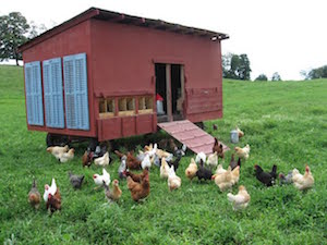 kinderhook farm chickens infant of chicken coop